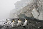 最大栖息地王企鹅数量减九成 或因气候变化