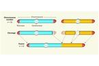 中国科学家合成单染色体真核细胞 乃世界首创
