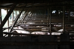 沈阳出现非洲猪瘟疫情  官方称疫情已被控制