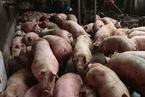 江苏现国内第三起非洲猪瘟疫情 溯源难度高