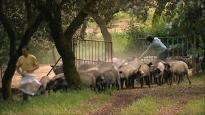 猪的数量超过人口 西班牙环境不堪重负