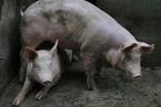 浙江乐清再现非洲猪瘟 死亡340头生猪