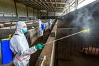 安徽芜湖再现非洲猪瘟疫情 病猪来源仍在调查