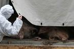特稿|百年非洲猪瘟:从何处来,到哪里去?