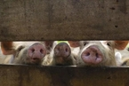 非洲猪瘟来势汹汹,怎么办?我们专访了联合国首席兽医