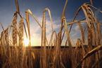 研究:气温每升高一度粮食作物最多减产25%