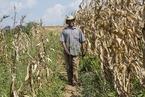 记者手记|中国农民的农活技术,如何改变非洲的玉米田