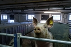 上海首次排查出非洲猪瘟疫情