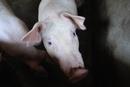 非洲猪瘟蔓延至蒙豫  安徽启动Ⅰ级应急响应