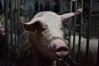 内蒙古正蓝旗发生非洲猪瘟疫情