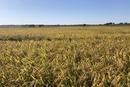 利用分子育种技术 中科院抗逆水稻新品种选育成功
