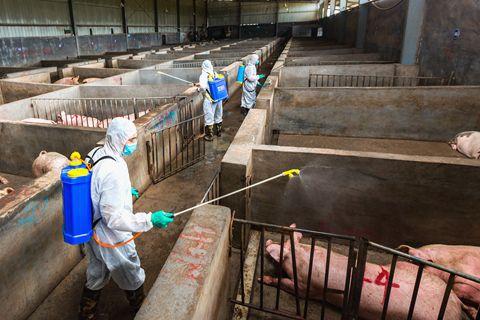 吉林公主岭、内蒙科尔沁发生非洲猪瘟疫情