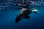 有毒化合物贻害无穷 或致一半虎鲸在50年内消失
