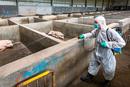 农业部:短期灭除非洲猪瘟难度极大 做好打持久战准备