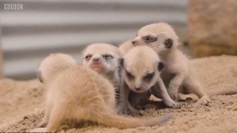 澳大利亚悉尼多了五个居民——五只猫鼬宝宝