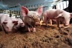 辽宁铁岭、盘锦再排查出非洲猪瘟疫情