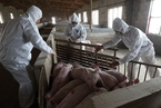 辽宁省盘锦市排查出非洲猪瘟疫情 死亡生猪43头