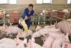 疫情下的養殖業:缺飼料問題逐步解決 用工難持續