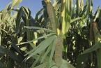 豪赌转基因玉米开闸