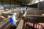云南浙江又现三起非洲猪瘟疫情 来源不明
