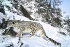 雪豹在中国面临21项威胁 基层保护能力弱居首