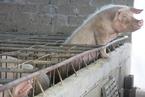 安徽省青阳县排查出非洲猪瘟疫情