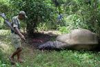 虎骨犀角贸易新规再生变 入药等仍被严格禁止