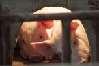 四川省合江县、陕西省西安市长安区、北京市顺义区排查出非洲猪瘟疫情