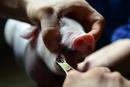 云南省威信县排查出非洲猪瘟疫情