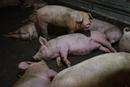 湖北省阳新县排查出非洲猪瘟疫情