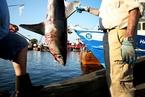 世界上游得最快的鲨鱼濒临灭绝
