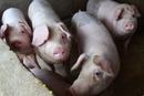 山西省临汾市尧都区排查出非洲猪瘟疫情