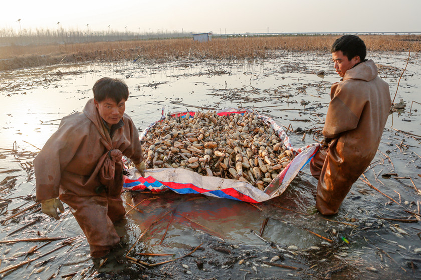 Two leather-clad diggers pull their harvest of lotus roots to the edge of the pond in which they are grown near Xingping, Shaanxi province, on Dec. 9, when the temperature dipped to minus 2 degrees Celsius (28.4 degrees Fahrenheit). More than 200 acres of lotus root fields were waiting to be harvested. Photo: VCG_ Rooting Out Lotus Roots