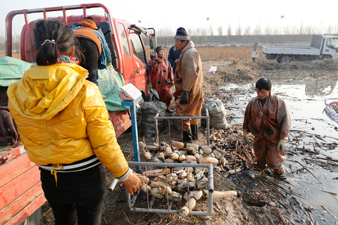 The harvesters start digging at 8 a.m. and work for six hours every day. For every 1-pound lotus root they dig up, they earn 0.3 yuan ($0.04). They can harvest 1,100 pounds of lotus roots a day at most and earn just over 300 yuan. Photo: VCG