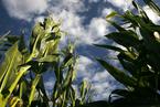 新疆伊犁查出非法制种转基因玉米近11000亩