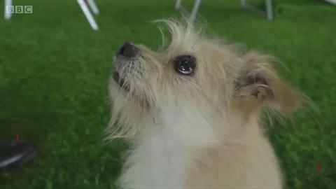 被成功克隆的中国明星犬