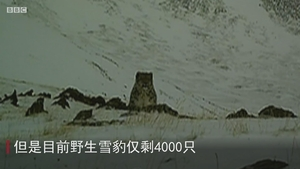 世界自然基金会如何拯救雪豹?