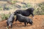 越南发生3起非洲猪瘟疫情