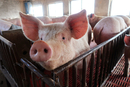 农业部:加强屠宰环节非洲猪瘟防控 5月前全面清理