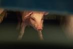 养猪企业告别业绩低迷 猪周期上行期拉开序幕