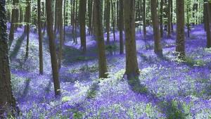 森林中的紫蓝色地毯