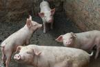 海南海口市四地暴发非洲猪瘟