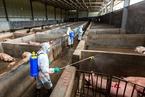蹭非洲猪瘟热点声称有疫苗 海印股份信披违法遭处罚