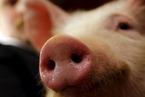 港大首次提取猪只扩展潜能干细胞 拓展人类器官移植新方向