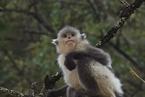 如何守护滇金丝猴?