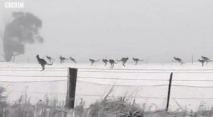 你见过在雪地上奔跳的袋鼠吗?