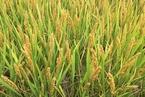 转基因大国作物应用率已饱和 中国仍无放开时间表