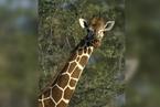 特写 CITES缔约方大会闭幕  长颈鹿、18种鲨(鳐)鱼被限制贸易