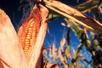 青海查处首例制种转基因玉米案 农民损失尚未赔付