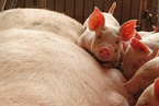 农业部:生猪产能下滑基本见底 力争明年底恢复到80%